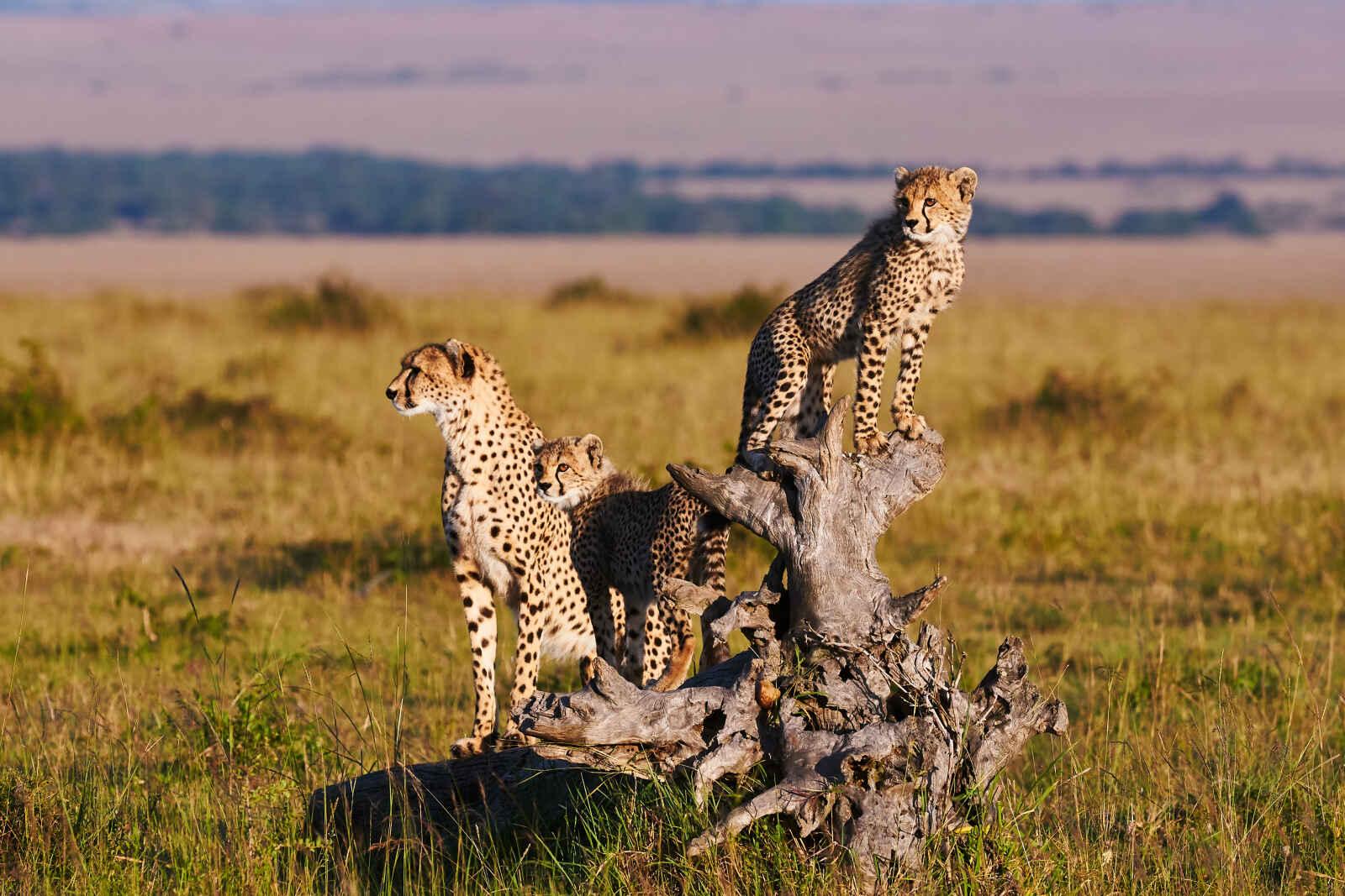 Tanzanie grandeur nature